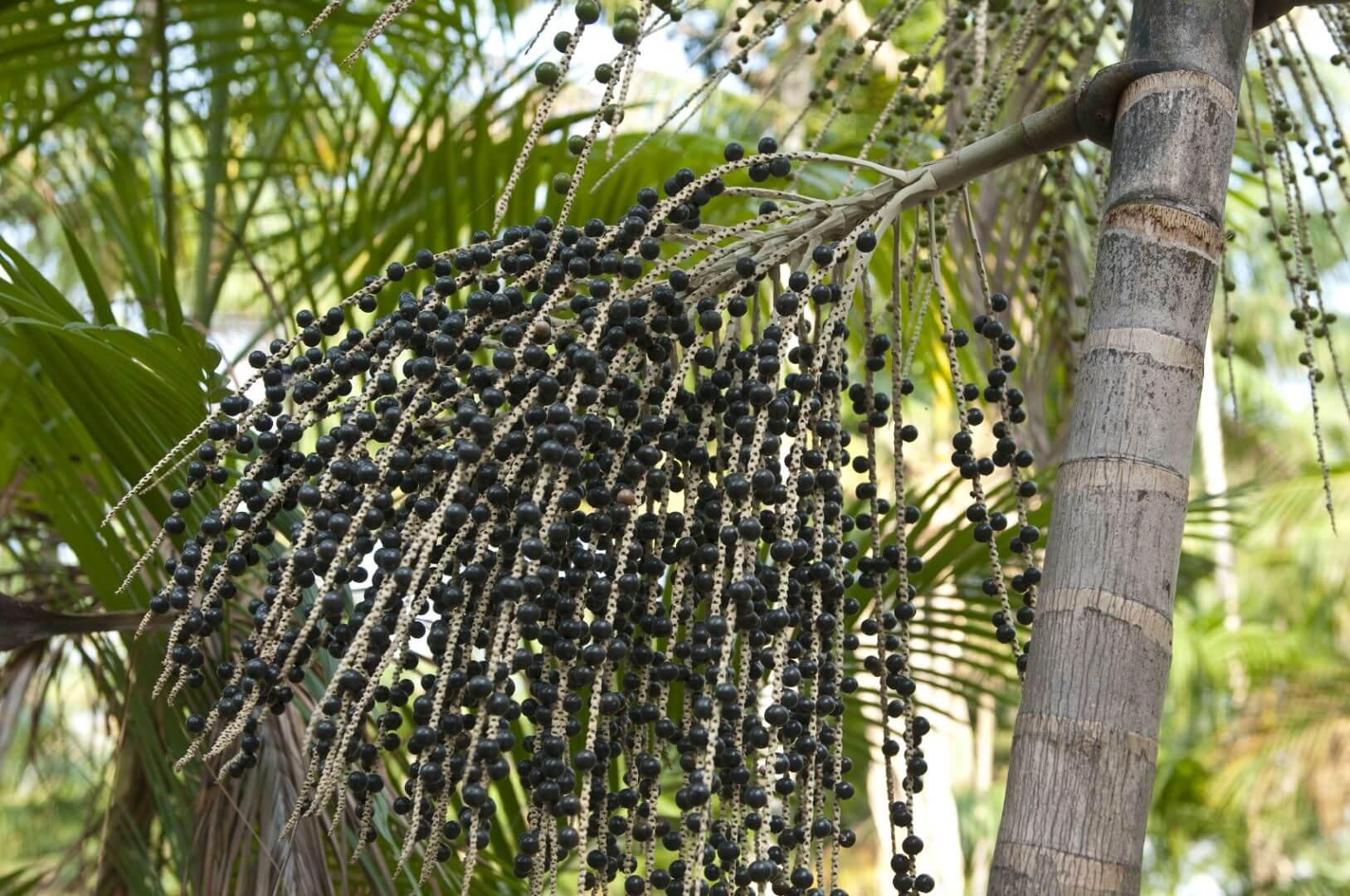 Асаи на пальмовых деревьях